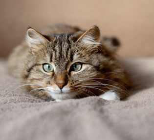 Do sterilized cats really gain weight?
