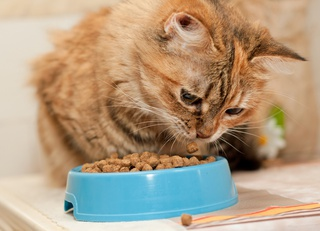 Alimentation du chat adulte